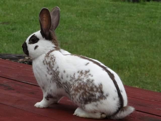 thỏ bướm pháp 01