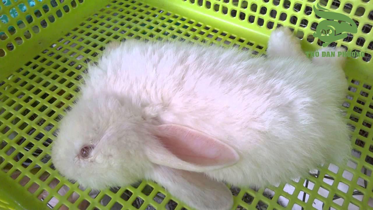 bệnh tụ huyết trùng ở thỏ.