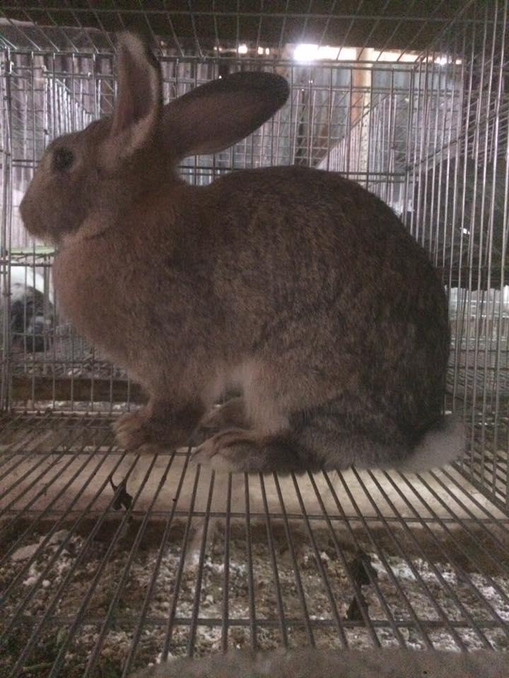 thỏ bỉ khủng lồ