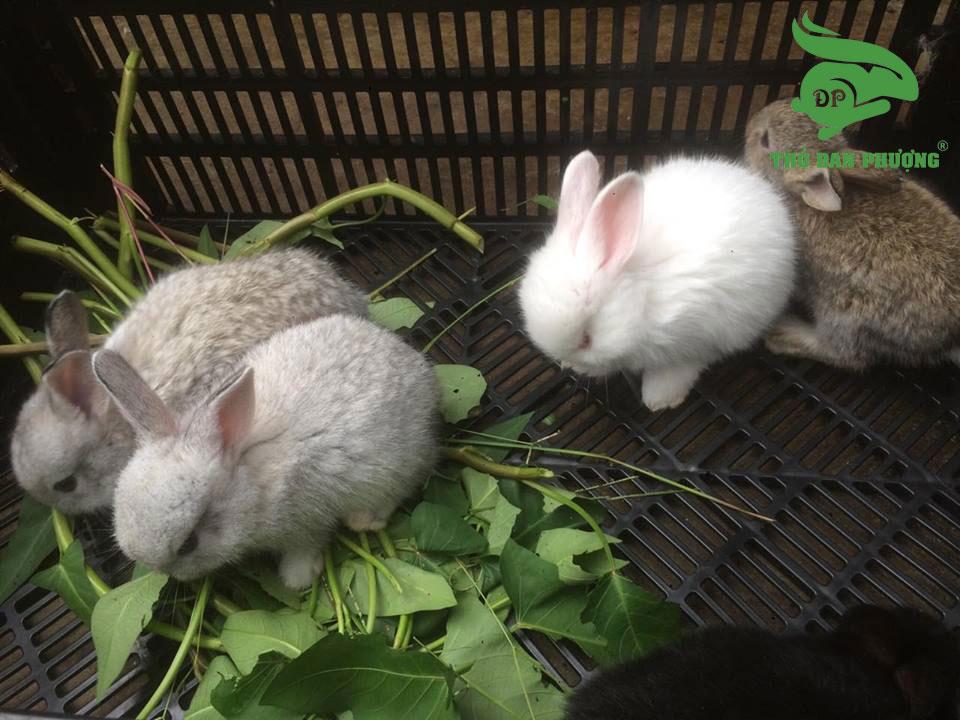 cách chọn thỏ con làm thỏ giống.