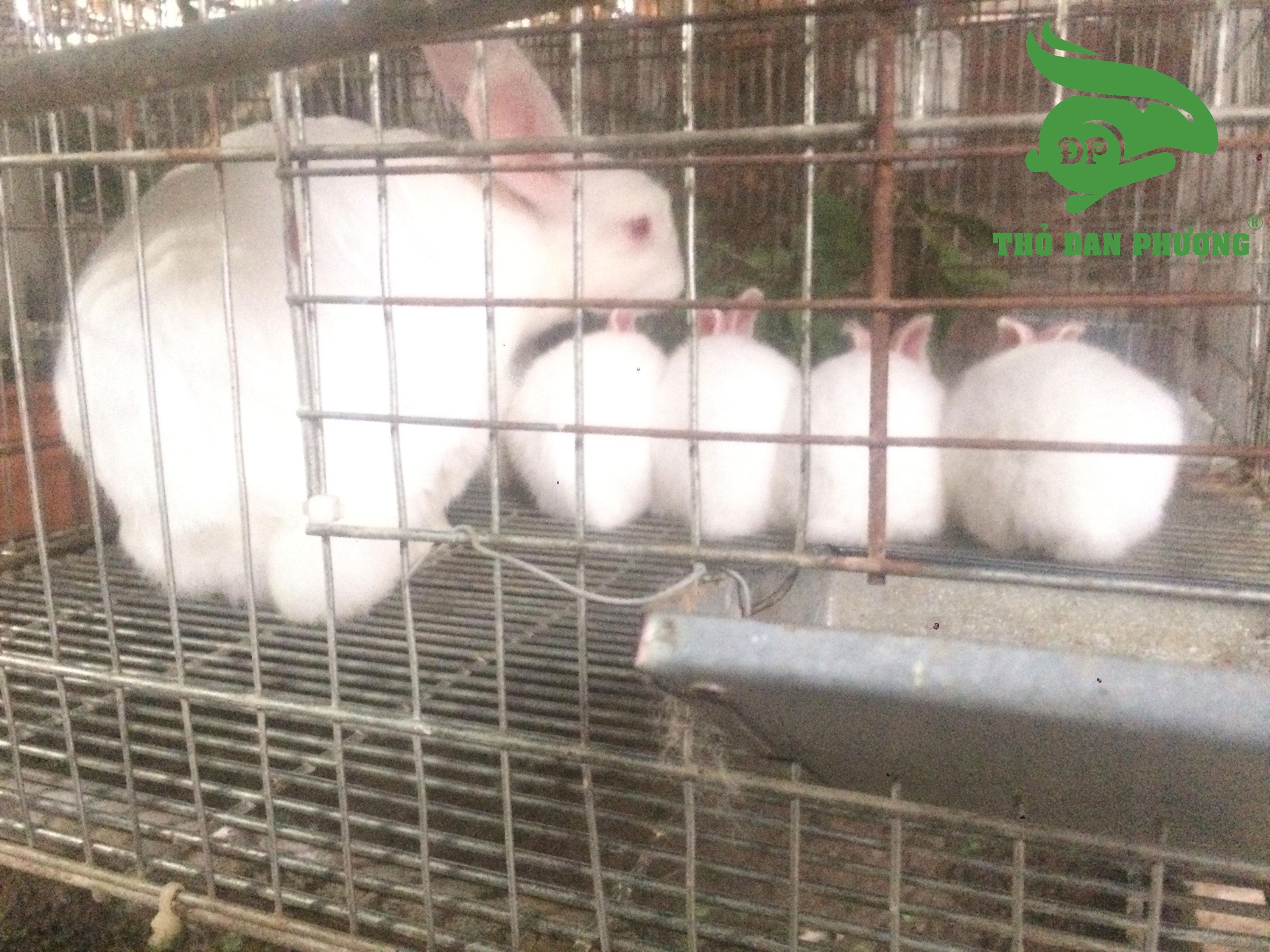 Chọn thỏ cái là một trong những kỹ thuật nuôi thỏ sinh sản.