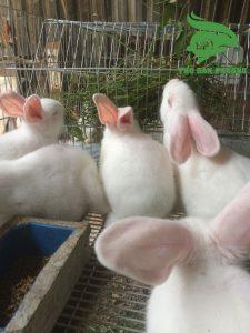 chọn thỏ cái làm giống.